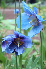 Shades of Blue (jchants) Tags: flowers blue green spring blossoms blooms federalwaywa himalayanbluepoppies rhododendronspeciesgarden