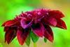 LES DAHLIAS, SOLEIL DE NOS JARDINS (Gilles Poyet photographies) Tags: fleurs soe dahlias auvergne puydedôme clermontferrand autofocus aplusphoto artofimages parcdemontjuzet rememberthatmomentlevel1 rememberthatmomentlevel2 rememberthatmomentlevel3