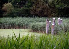stones in a pond at Sharpham Vineyard (maggie224 -) Tags: reeds pond stones carving devon sharphamvineyard