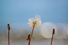 Make a Wish (AngelBeil) Tags: ocean beach bokeh dandelion makeawish