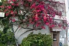DSC_1214.jpg (d3_plus) Tags: flowers sea sky flower japan scenery bougainvillea bloom  hydrangea  shizuoka     izu j4 shimoda         nikon1 hydrangeafestival  shimodapark  1nikkorvr10100mmf456 nikon1j4 shimodahydrangeafestival