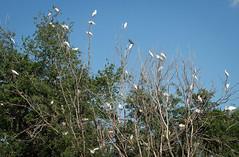 Herons-26 (JimBoots) Tags: unitedstates kansas wichita