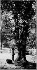 Anglų lietuvių žodynas. Žodis pumelo reiškia pumelas lietuviškai.