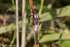 Chalk-fronted Corporal (rdroniuk) Tags: insect dragonflies insects insectes odonata libellules chalkfrontedcorporal ladonajulia libellulejulienne chalkfrontedcorporaldragonfly dragonfliesofontario