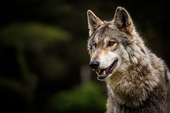 May 2014_68 (kdc123) Tags: new wild dog woods wolf nj jackson jersey wolves howling