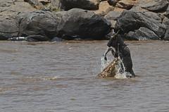 Cheating certain death! (Rainbirder) Tags: kenya maasaimara nilecrocodile bluewildebeest connochaetestaurinus rainbirder