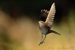 """Noitibol"" | ""Luscinia angelicus"" | ""Nighting'angel""... ;-) (JosBar - 1,3M Tkx... ;-)) Tags: portugal nature birds animals fauna birdie wings wildlife natureza birding beak feathers birdsinportugal avesemportugal aves dodo fullframe animais ornithology birdwatching avesdeportugal avian biodiversity avifauna idanhaanova birdwatcher asas freebirds lusciniamegarhynchos penas vidaselvagem faunaibrica josbar ornitologia observaodeaves naturephotographer biodiversidade vidaanimal birdphotographer commonnightingale rouxinolcomum avesemliberdade avianphotography fotografiadenatureza fotografiadeaves portuguesebirds birdinginthewild naturephotographing fotgrafodenatureza faunaportuguesa alcafozes observadordeaves fotgrafodeaves canonef400mmf28lisiiusm iberianbirds canoneos1dx birdphotographing joslusbarros birdsinfreedom nocaptivitybirds ornitfilo"