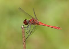 Ruddy Darter Sympetrum sanguineum (Iain Leach) Tags: insect image dragonfly wildlife photograph odonata pondlife anisoptera ruddydarter birdphotography sympetrumsanguineum wildlifephotography
