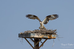 Osprey landing sequence - 7 of 14