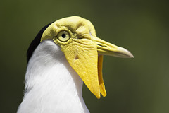 Masked Lapwing (DFChurch) Tags: bird nature animal tampa zoo florida lapwing masked vanellusmiles lowrypark