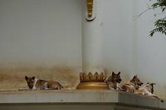 Of dogs and wats...Nong Khai, Thailand  2014 (drburtoni) Tags: dog dogs thailand wat nongkhai