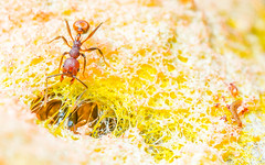 _DSC3339.jpg (Boy of the Forest) Tags: world orange macro nature beautiful yellow amazing nikon earth unique ant 11 ants environment tamron magnificent slimemold d800 tamron90mm hymenoptera slimemould cicanese boyoftheforest boyoftheforest mattcicanese matthewcicanese