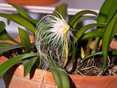 bulbophyllum medusae (Eerika Schulz) Tags: bulbophyllum medusae