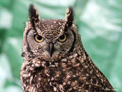 Owl 3 (Claire Thomas 75) Tags: colour bird closeup wildlife owl birdofprey infocus highquality canon550d