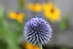 Blue Globe Thistle and Blackeyed Susans