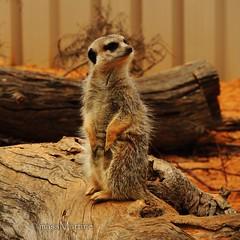 Meerkat @ Monarto Zoo, SA (massMartine) Tags: africa zoo meerkat south australia adelaide afrika sa suricata monarto