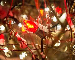C7 LED Red Bulb (Christmas World) Tags: lighting christmas light house holiday snow tree led mo event incandescent slo c9 c7 christmaslitescom