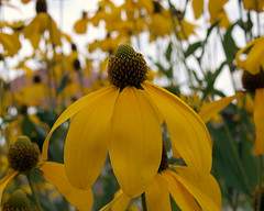 0008321 (To all that visit, Thank you) Tags: flowers plant canada flower yellow garden petals cone center nb bloom coneflower pedals spiny ©allrightsreserved nbphoto yellowconeflower