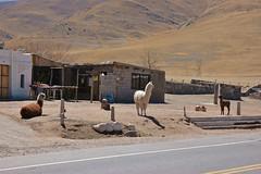 DSC_4139 Llamas, Parador El Infiernillo, Tucumn (marialuz_fernandez) Tags: argentina nikon d70s llama montaa tucumn elinfiernillo mouintan