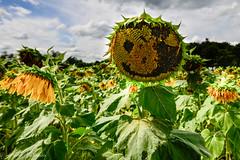 Crackin' a Smile (FrankieCorrado) Tags: smile sussex farm nj sunflower maze augusta happyface 2014 sunflowersnj