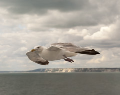 Gull Over The English Channel (Giuseppe Baldan) Tags: