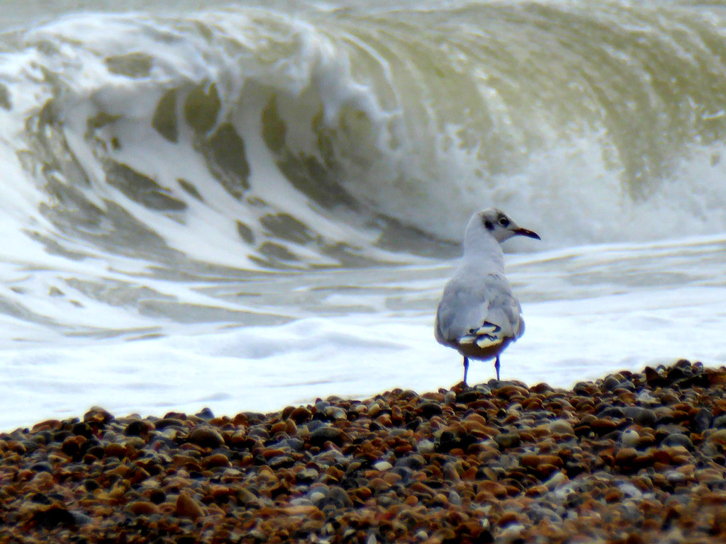 Gull with wave