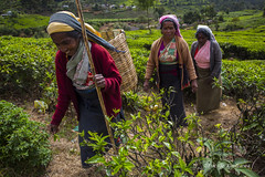 (Lucille Kanzawa) Tags: srilanka teaplantation ch nuwaraeliya teapicker folhasdech pedroteaestate plantaodech singhalesewoman catadoradech apanhadoradech mulhercingalesa