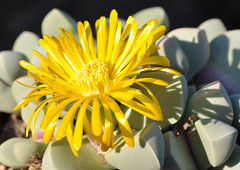 LAPIDARIA margaretae (Schwantes) Dinter & Schwantes (kaha_m) Tags: mesembryanthemum mesem argyroderma dinteranthus lapidaria margaretae karoorose quarzplane