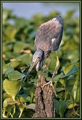 Target Acquisition (WanaM3) Tags: bird heron nature texas wildlife sony stump pasadena canoeing paddling tricoloredheron a57 waterhyacinth clearlakecity avianexcellence wanam3 sonya57
