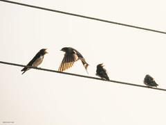 Barn Swallow feeding juveniles