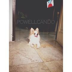 โพเวลมาหาาา! ฮาร์เลย์ #himorning #chihuahua #powellcando