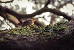 Robin in the trees (elizunseelie) Tags: life trees red wild black macro cute bird eye texture nature face up robin leaves birds animal animals female forest photoshop scotland moss woods focus shrine doll breast close natural pentax sweet earth ripple wildlife magic small beak feathers feather adorable scottish folklore ps foliage fairy ornament clay bark tiny perch express shallow rough split argyle legend mythology depth mossy porcelain sith myth avian votive fae shrink offerings x5 aberfoyle ipad snapseed