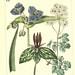 Virginian Spider wort, Sessile Trillium, and Feathered columbine. The new botanic garden (1812)