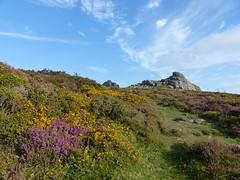 P1010333 (jrcollman) Tags: people plants places devon dartmoor haytor ulexgallii eplant ericacinerea haytortohoundtor
