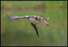 Osprey- (Pandion haliaetus) (Col-Page) Tags: