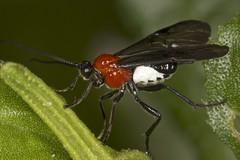Braconid Wasp (zosterops) Tags: australia tasmania hobart knockloftyreserve canoneos550d canonmacrolensef100mm kenkoextensiontubes ringflash canonmr14ex macro insecta hymenoptera braconidae braconinae bracon