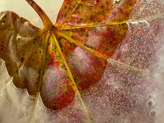 Frozen Leaf (fstop186) Tags: leica autumn winter macro ice leaf melting frost olympus powder 45mm hoar jackfrost em1 elmarit artdigital awardtree leicadgmacroelmarit45f28