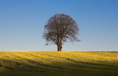 Tree on a Spring Morning (wentloog) Tags: uk blue shadow sky cloud sunlight tree green field yellow wales britain farm cymru cardiff crop caerdydd glamorgan lone lonely agriculture patches gwent oilseed michaelstone wentloog stevegarrington michaelstoneyfedw fedw