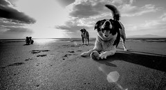 """""""Go On! .. Go On! .. you know you must!"""" (JJFET) Tags: dog beach dogs ball fun collie border goon littledoglaughedstories littledoglaughednoiretblancet"""