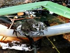 Tuesday's frog (June 6, 2015) (EcoSnake) Tags: june spring frogs amphibians naturecenter americanbullfrog idahofishandgame lithobatescatesbeiana