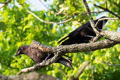 2015:182 (Steve VanSickle) Tags: tree bird nature crow day182 day182365 365the2015edition 3652015 1jul15