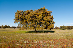 Azinheira em flor (fernandoromo) Tags: flower tree oak flor rvore holm azinheira