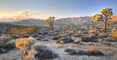 Joshua Tree NP near sunset (Wayne~Chadwick) Tags: