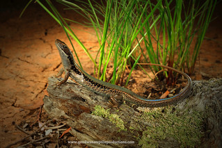 portrait: Southern Water Skink