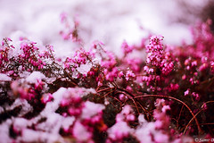shrub erica (Samir D) Tags: erica samird 2017 eos 50mm 50mm18 canon canada shrub vancouver vancity vancitybuzz vans flower flowers nature kerrisdale marchsnow snow