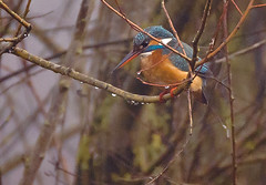 Blauet a la boira / Kingfisher in the mist (SBA73) Tags: catalunya catalonia sils laselva estany wetland marsh aiguamolls maresma ocell au ave pajaro bird blauet martínpescador commonkingfisher kingfisher alcedoatthis female femella beautiful d750 nikon birding vogel animal
