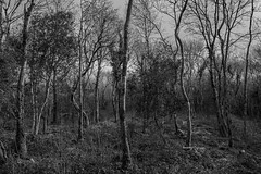 Woodlands (7) (Ger208k) Tags: ireland roscommon stjohnswood woodland forests trees bare branches foliage landscape winter blackandwhite greyscale nikond800 gerardmcgrath