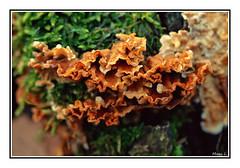 Dentelles des bois (marc.lacampagne) Tags: ngc nature champignon bois forêt macro canon tamron