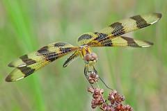 memories of summer ... (Vicki's Nature) Tags: halloweenpennant dragonfly brown golden stripes biello georgia vickisnature canon s5 5092 returnadorati