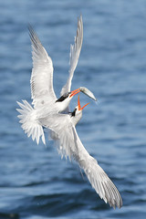 I want your fish! (bmse) Tags: elegant tern bolsa chica fish fishing theft steal action bmse salah baazizi wingsinmotion canon 7d2 400mm f56 l